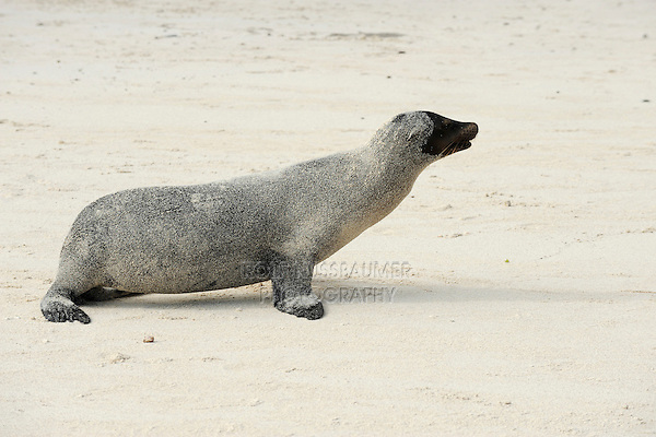 Galapagos Sea Lion (Zalophus wollebaeki), adult sand covered, Espanola Island, Galapagos, Ecuador, South America