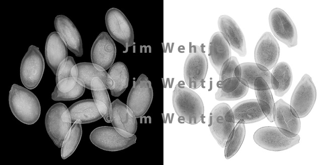 X-ray image of pumpkin seeds (grayscale) by Jim Wehtje, specialist in x-ray art and design images.