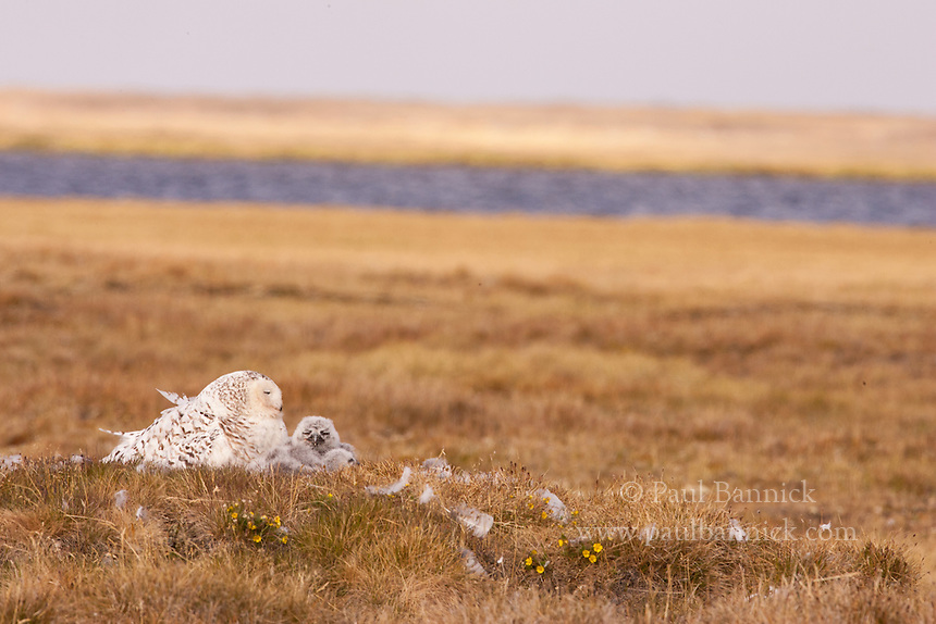 The arctic tundra is a spongy weave of grasses, sedges, liverworts, and mosses, cut by ribbons of water and punctuated by rocky and earthen mounds. Snowy Owls nest atop the periodic rises, surveying the landscape for predator or prey.
