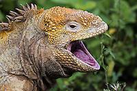 Land Iguana Yawn
