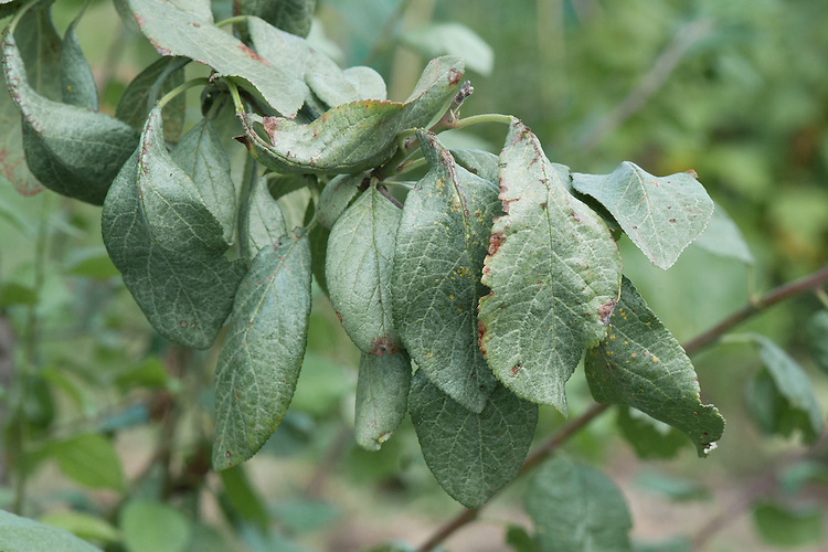 Silver leaf disease on a plum tree, mid August. A fungal disease that takes its name from the silvery sheen that develops on infected leaves.