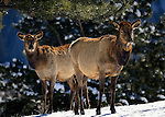 Two elk cows standing on snow in the pine forest of Rocky Mountain National Park, CO