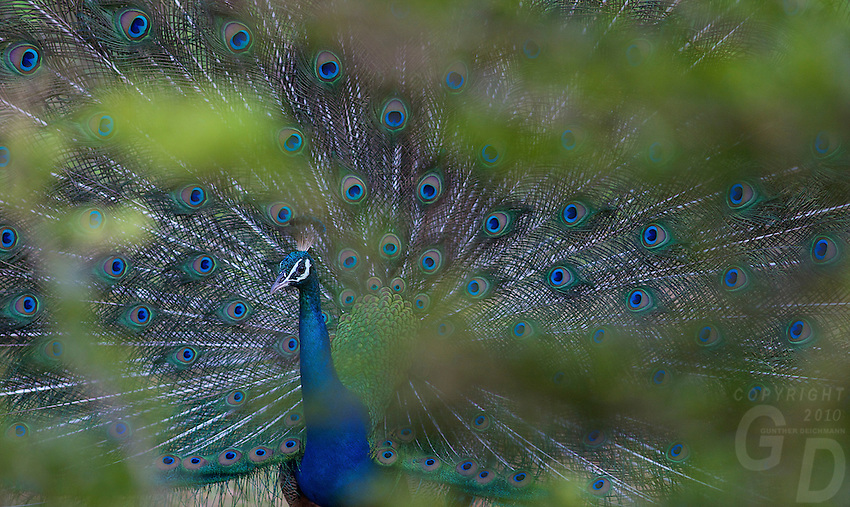 Mating display of a Peacock - Yala National Park, Sri Lanka