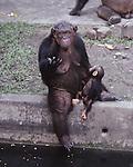 chimps at Bangkok Zoo