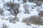 A gray wolf in Yellowstone National Park, Montana, US,A Jan 10, 2009.  This wolf is wearing a collar attached by biologist in the park.  The collar is used to locate the wolves for study.  Photo by Gus Curtis.