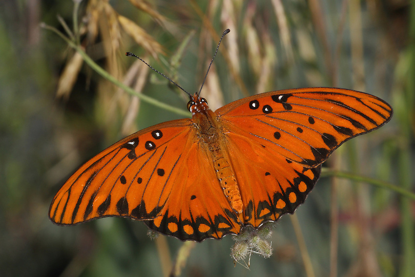 "The Gulf Fritillary or ""Passion"" butterfly is orange & black sporting silver underwings. Laying eggs on or near passionvine, they are found in over 2/3 of the United States. Seen here near the ground with native Texas meadow grass.."