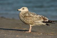 American Herring Gull - Larus smithsonianus - 1st winter