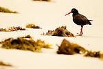 Sooty Oystercatcher (Haematopus fuliginosus) on beach, Murramarang Beach, Murramarang National Park, New South Wales, Australia