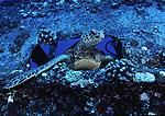 Green sea turtle Honu,Maui,Hawaii.Turtles swimming around Hawaiian waters.<br /> Photos of green sea turtles Honu. Photos of Underwater wrecks around Hawaiian waters.<br /> Fotos de barcos hundidos alrededor de las islas de Hawaii.