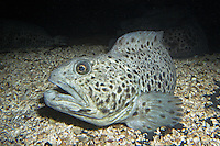 Gefleckter Seewolf, Gefleckter Katfisch, Anarhichas minor, spotted wolffish, spotted sea-cat, spotted catfish, spotted cat