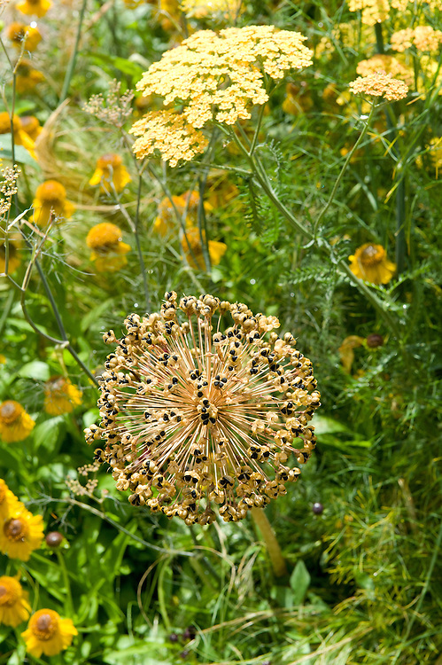 Dried seed head of Allium hollandicum 'Purple Sensation' with Achillea 'Anblo' and Helenium 'Blopip', early July.
