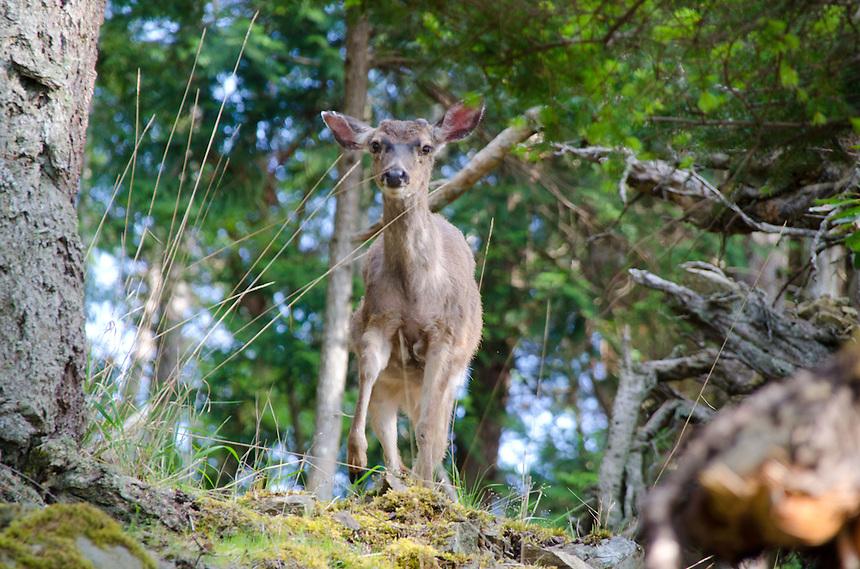 Columbian Blacktail Deer (Odocoileus hemionus columbianus), Jones Island State Park, San Juan Islands, Washington, US
