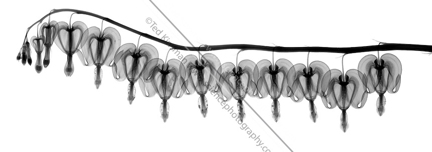X-Ray of Bleeding heart flowers (Dicentra formosa)
