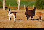 Llamas, Loa, Utah