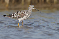 Greater Yellowlegs - Tringa melanoleuca - breeding adult
