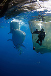 A diver films whale sharks, Rhincodon typus, under a fishing platform, these sharks are friends with the fishermen who hand feed them at Cendrawasih Bay, West Papua, Indonesia, Pacific Ocean