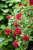 A bush of red roses is in full bloom in the traditional cottage garden that surrounds the 18th century farmhouse