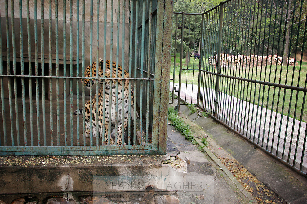 CHINA. Hubei Province. Wuhan. A leopard in an enclosure in Wuhan zoo. In many of China's 'second-tier' cities, away from the modern zoos in the megacities of Beijing and Shanghai, hide a plethora of smaller unknown zoos. In these zoos, what can only be described as animal abuse is subtly taking place in the form of deprivation of light, space, sanitation and social contact with other animals. Living in awful conditions, these animals spend there days entertaining tourists who seem oblivious to the animals' plight and squalid existence. 2008..