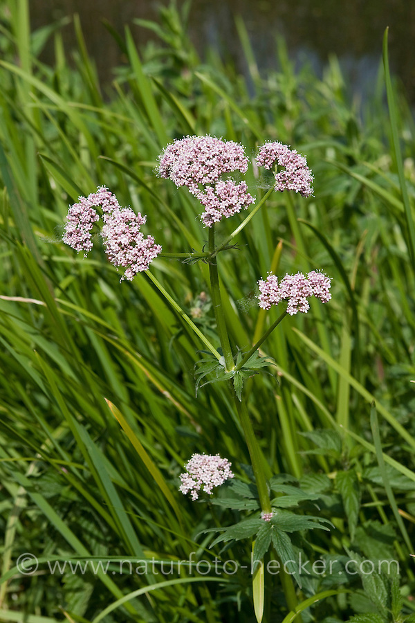 Echter Baldrian, Echter Arznei-Baldrian, Valeriana officinalis, Common Valerian, Valériane officinale