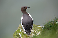Common Guillemot at Bempton