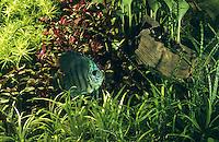 Eingerichtetes Aquarium, Gesellschaftsbecken, Warmwasseraquarium, tropisches Süßwasser-Aquarium, aquarium, fish tank. Diskusfisch, Diskus-Fisch, Diskusbuntbarsch, Diskus-Buntbarsch, Diskus, Symphysodon aequifasciatus, Symphysodon aequifasciata, Symphysodon discus aequifasciata, discus, pompadour fish, Buntbarsche, Cichlidae. Süd-Amerika Becken