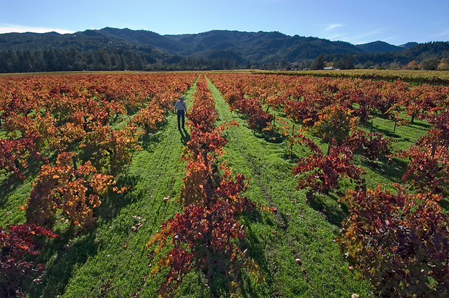 "Vineyard owner, Alston ""otty"" Hayne walks his petit sirah vineyard in St. Helena"