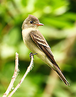 Adult eastern wood-pewee at Paradise Pond in April
