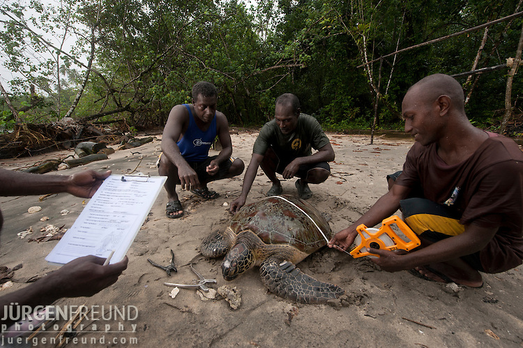 Gathering data on turtles. Bringing the turtle back to the beach, the rangers collect data on the species, shell width, length, and distinguishing marks. The data is recorded and forwarded to the South Pacific Regional Environmental Programs (SPREP) database.