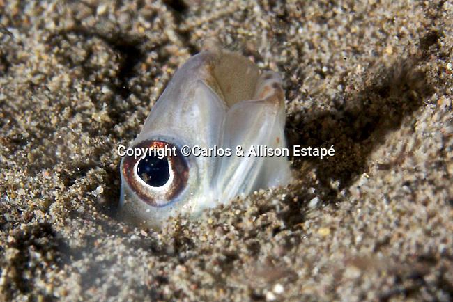 Ariosoma belearicum, Bandtooth conger, Dominica
