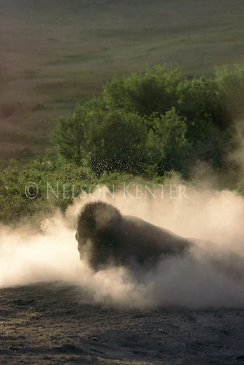 Bison bull taking a dust bath with a swarm of bugs overhead
