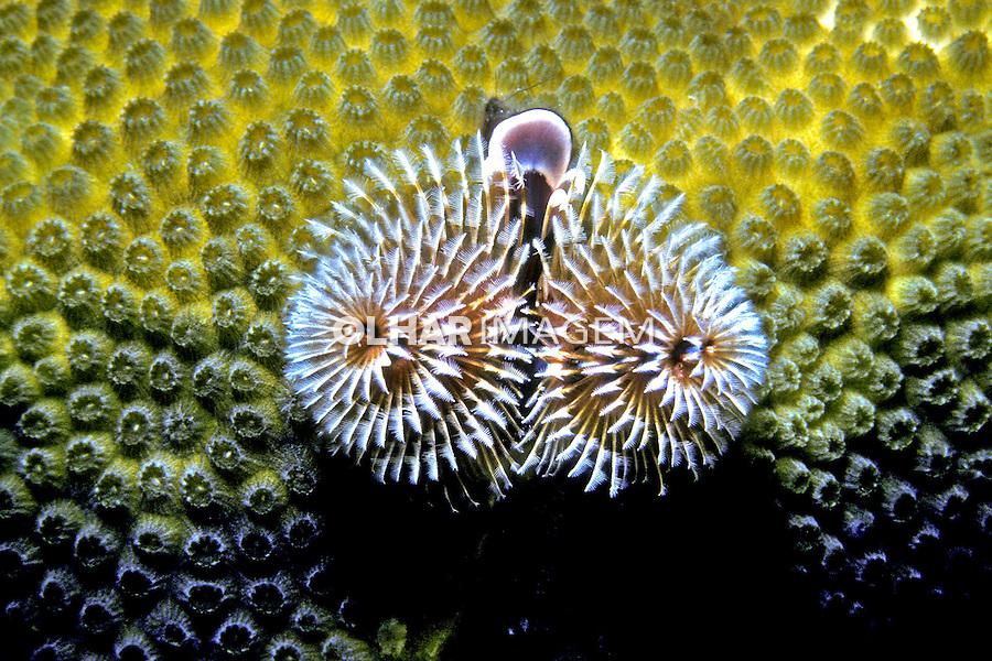 Poliqueta ( Spirobranchus giganteus) em Guanaja, Caribe. Foto de Maristela Colucci.