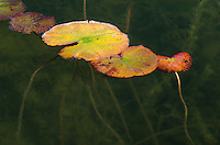 Water plant's leaves in autumn color float on the waters of Kangaroo Lake, Door County, Wisconsin