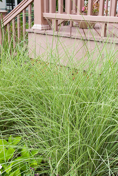 Miscanthus sinensis 'Morning Light' ornamental grass next to house deck as foundation planting