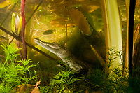juvenile Morelet's crocodile, Central American crocodile, Mexican crocodile, or Belize, Caribbean, Atlantic crocodile, Crocodylus moreletii, hides underwater among water lilies, and other vegetation, in cenote or freshwater spring near Tulum, Yucatan Peninsula, Mexico, Caribbean, Atlantic