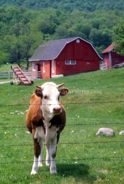 White faced Hereford cow in meadow behind wire electric fence, red barn, farm animal, bull with horns