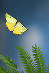 Cloudless Sulphur Butterfly, Phoebis sennae, Pieridae, female, in flight, Costa Rica, High Speed photographic technique, free flying, yellow,.Central America....