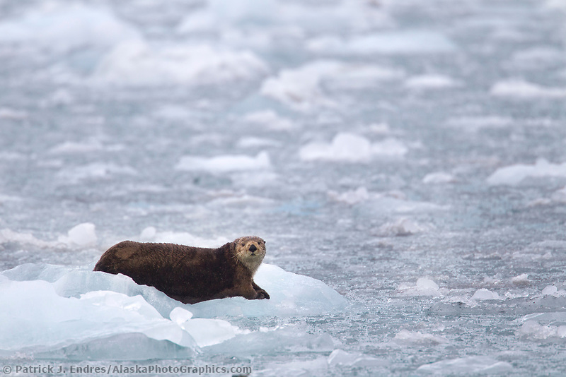 Sea otter lays on a floating iceberg from Surprise glacier, Prince William Sound, Alaska.