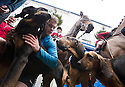 26/12/14<br /> <br /> Today's 'quarry', twenty-four-year-old Rob Drummond (blue jacket), lets the the blood hounds from the Four Shires Hunt take in his scent in the Market Square in Ashbourne, Derbyshire, before setting off - ten minutes ahead of the hounds and horses - on a run of up to 17 miles across the Derbyshire Dales as the Boxing Day hunt leaves Ashbourne in hot-pursuit.<br /> <br /> <br /> All Rights Reserved - F Stop Press. www.fstoppress.com. Tel: +44 (0)1335 300098
