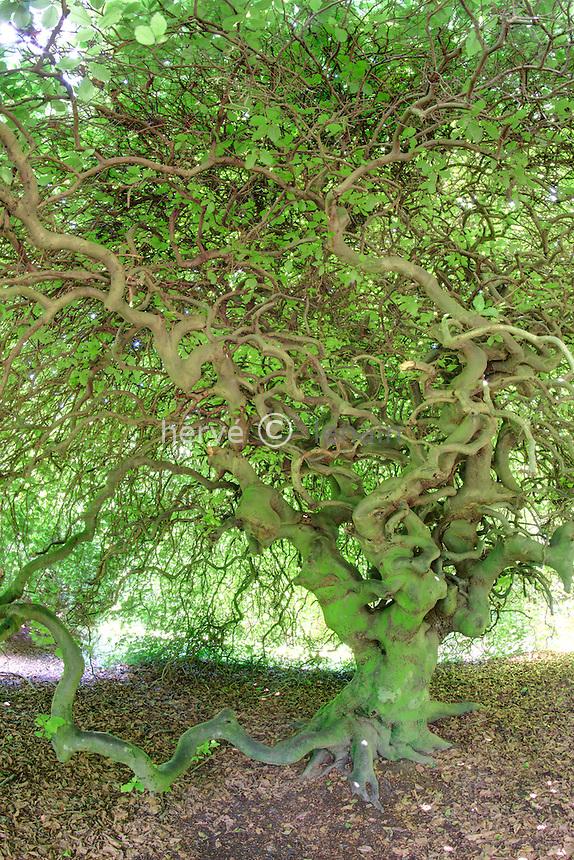 Arboretum des Barres ou Arbofolia, hêtre tortillard ou fau de Verzy (Fagus sylvatica 'Fau de Verzy') // France, Arbofolia, Dwarf Beech, Fagus sylvatica Tortuosa Group or 'Fau de Verzy'