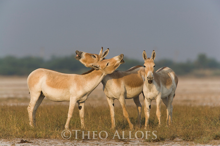 Male Indian wild asses scenting (Equus hemionus khur),  dry season<br /> The Indian wild ass's range once extended from western India, through Sind and Baluchistan, Afghanistan, and south-eastern Iran. Today, its last refuge lies in the little Rann of Kutch and its surrounding areas of the Greater Rann of Kutch in the Gujarat province.