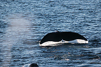 Bowhead whale,  Balaena mysticetus, Pair, one diving, Critically endangered Barents sea population. Barents sea / Arctic Ocean, Franz Josefs Land, Russia