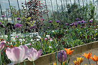 Spring tulips in the 'cuttings' garden at Petersham Nurseries