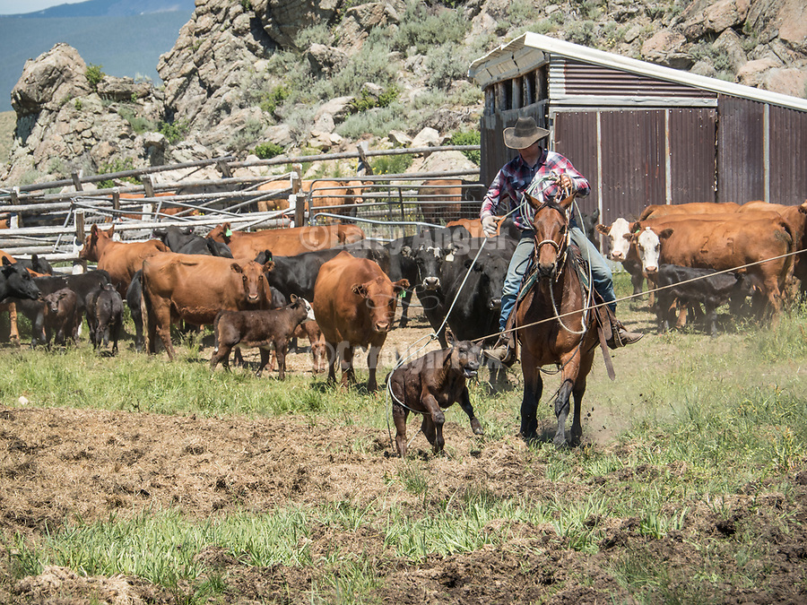 Cattle and ranching in Montana's Big Hole Valley.<br /> <br /> Branding, marking and doctoring &quot;the lates&quot; with the Dennis and Mykal Kirkpatrick family.