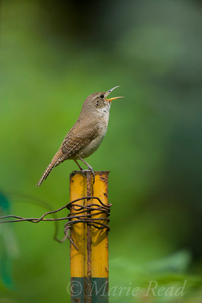 House Wren (Troglodytes aedon), male singing from a garden fence post, Ithaca, New York, USA