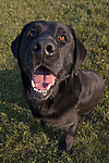 Black Labrador retriever (AKC) portrait distorted by a wide angle lens.