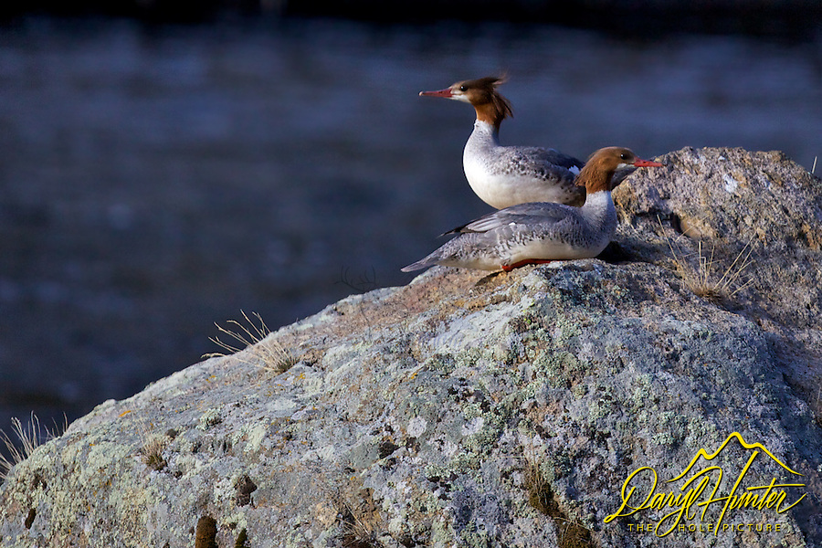 Common Merganser, A large diving duck with a long thin bill, the Common Merganser is found along large lakes and rivers across the northern hemisphere. The long bill has toothy projections along its edges that help the duck hold onto its slippery fish prey.