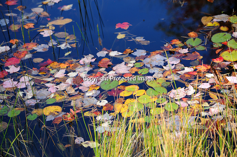 Lily Pads and Fall Leaves decorating the Ashuelot River during Fall Season in Marlow, New Hampshire USA