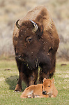 American Bison<br /> Bos bison<br /> Yellowstone National Park, Wyoming, USA