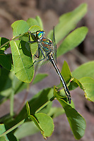 340600001 a wild male american emerald cordulia shurtleffii perches on a plant stem by a pond near cave creek campground in modoc county california