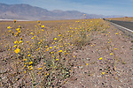 Death Valley National Park, California; fields of Desert Gold (Geraea canescens) wildflowers growing in the foothills of the Panamint Mountain Range during a rare super bloom after a wet El Nino winter